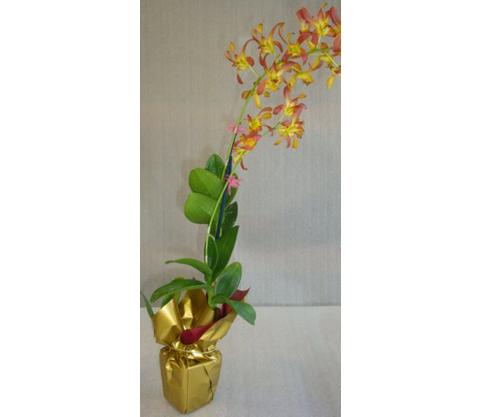 Dendrobium-10