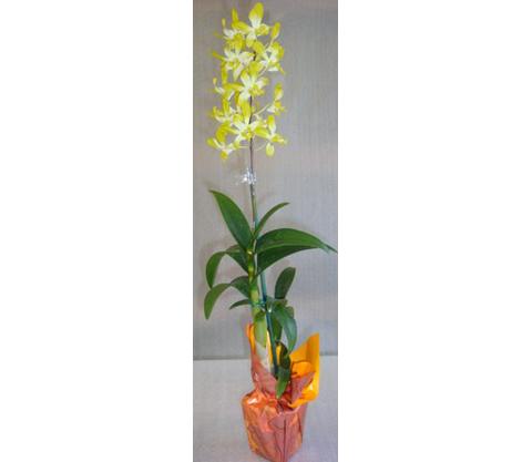 Dendrobium-12