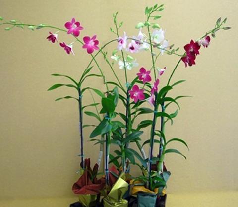 Dendrobium-16