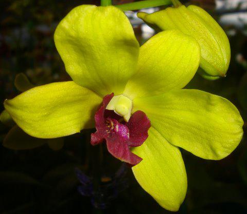 Dendrobium-5