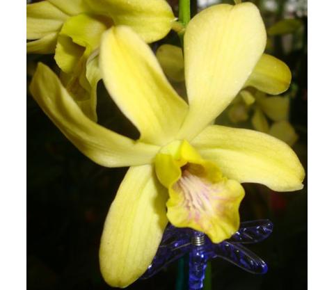Dendrobium-7