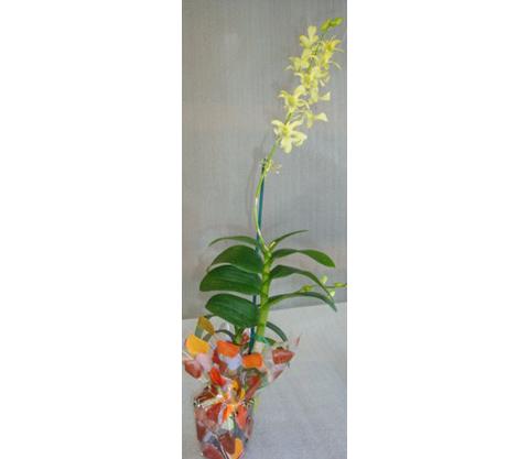 Dendrobium-8