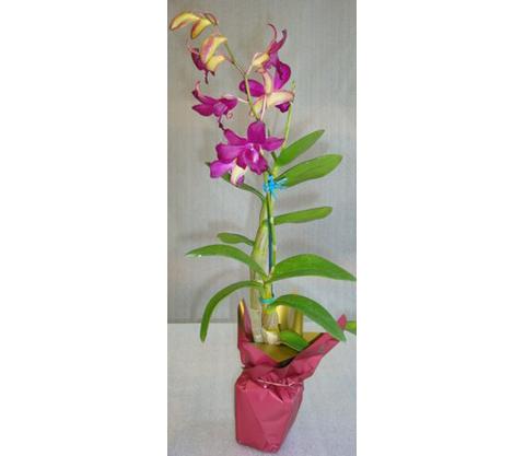 Dendrobium-9