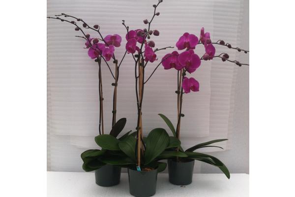 Phalaenopsis-12