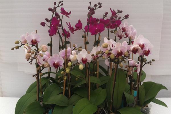 Phalaenopsis-13