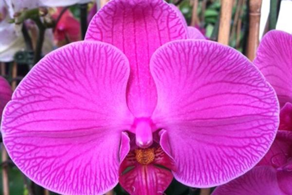 Phalaenopsis-15