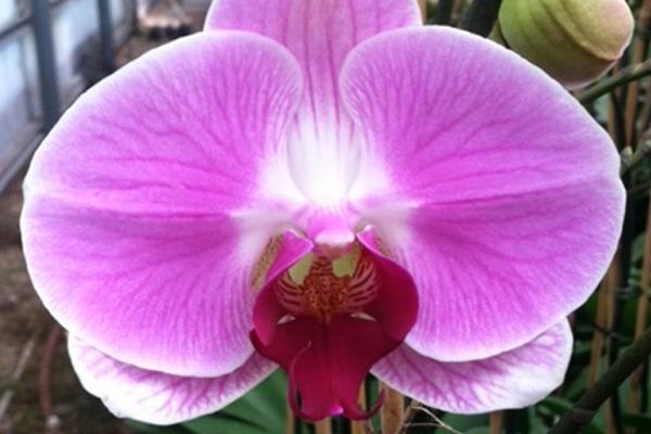Phalaenopsis-17