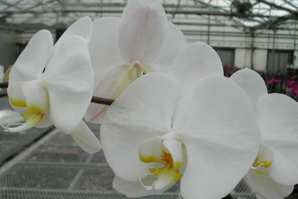 Phalaenopsis-3