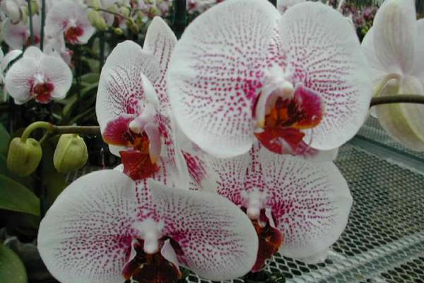 Phalaenopsis-4