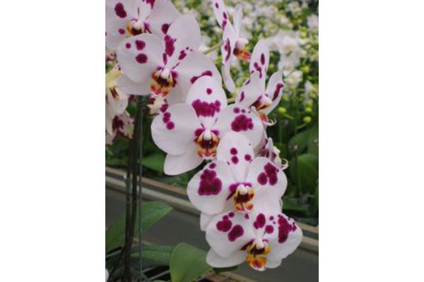 Phalaenopsis-7