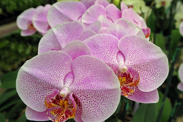 Phalaenopsis-8