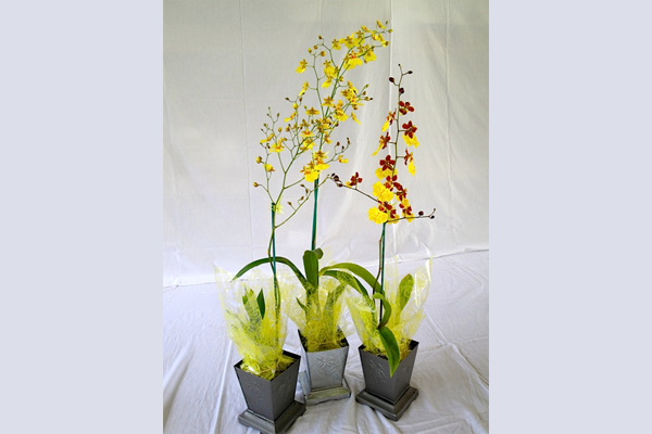 Oncidium Dancing Lady Types Turtle Pond